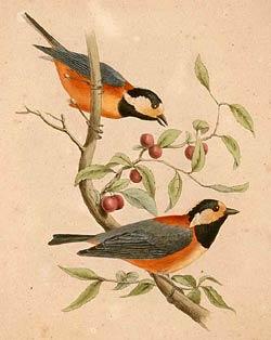 тисовая синица, японская синица (Parus varius), фото, фотография
