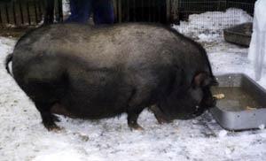 Чорнушка у корыта, вьетнамские карликовые свиньи, фото, фотография