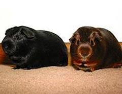 американская морская свинка, фото, фотография