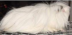 перуанская морская свинка, фото, фотография грызуны