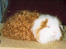 морская свинка тексель, длинношерстный шелти, фото, фотография