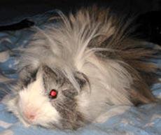 перуанская морская свинка, фото, фотография