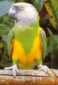 сенегальский попугай, сенегальский длиннокрылый попугай (Poicephalus senegalus), фото, фотография
