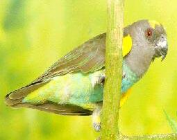 майеров мейеров длиннокрылый попугай, желтоплечий попугай, попугай Майера Мейера (Poicephalus meyeri), фото, фотография
