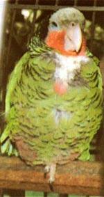 Белоголовый амазон (Amazona leucocephala)
