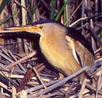 волчок (Ixobrychus minutus), фото, фотография
