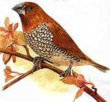 Птички амадины особенности содержания