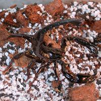 лесной малазийский скорпион (Heterometrus spiniferis), фото, фотография