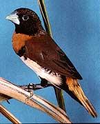 каштановогрудая амадина, амадина каштановогрудая (Lonchura castaneothorax), фото, фотография