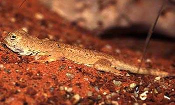 круглоголовка пятнистая, пятнистая кругоголовка (Phrynocephalus maculatus), фото, фотография