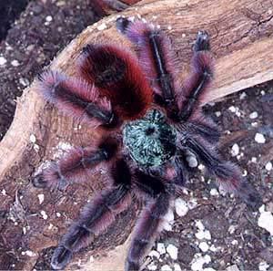 самых красивых пауков не только рода, а вообще всех родов птицеедов.