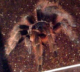 бразильский красный тарантул (Nhandu carapoensis), фото, фотография