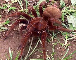 розоволапый тарантул (Theraphosa apophysis), фото, фотография