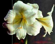 гиппеаструм гибридный садовый, гибридный садовый гиппеаструм, фото, фотография