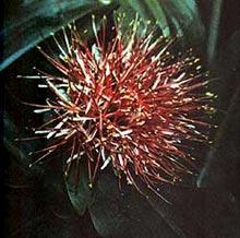 гемантус Катарины (Haemanthus katharinae), фото, фотография