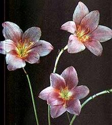 зефирантес крупноцветный, крупноцветный зефирантес (Zephyranthes), выскочка, фото, фотография
