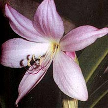 кринум Мура (Crinum moorei), фото, фотография