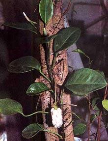 антуриум лазящий, лазящий антуриум (Anthurium scandens), фото, фотография