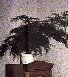 аспарагус перистый, перистый аспарагус (Asparagus plumosus), фото, фотография
