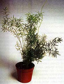 аспарагус Шпренгера (Asparagus sprengeri), фото, фотография