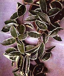 хойя мясистая, мясистая хойя (Hoya carnosa), фото, фотография