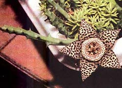стапелия пестрая, пестрая стапелия (Stapelia variegate), фото, фотография