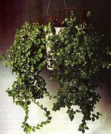 фикус крохотный, крохотный фикус (Ficus pumila), фото, фотография