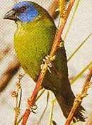 трехцветная попугайная амадина, попугайная амадина трехцветная (Erythrura trichroa), фото, фотография