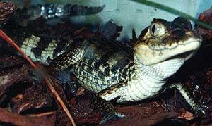 коричневый кайман, американский кайман, темный кайман (Caiman crocodilus fuscus), фото, фотография