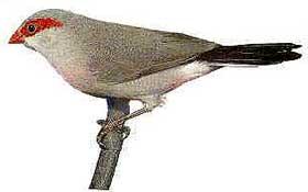 серый астрильд, астрильд серый (Estrilda troglodytes), фото, фотография