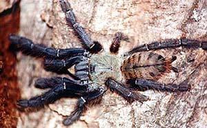 Голубой тарантул, земляной паук (Cyriopagopus thorelli), фото фотография, паукообразные