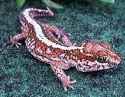 большеголовый геккон, малагасийский оцелотовый геккон (Paroedura pictus), фото, фотография