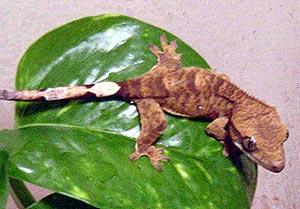 гребенчатый геккон, геккон гребенчатый, ресничный геккон бананоед, реснитчатый бананоед (Rhacodactylus ciliatus), фото, фотография
