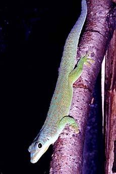 желтогорлый мадагаскарский геккон, желтогорлая фельзума (Phelsuma flavigularis), фото, фотография