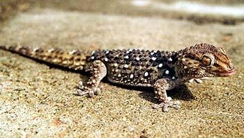Геккон Биброна (Pachydactylus bibroni), фото взято с www.gecko.ru, фотограф Вагиф Кафаров