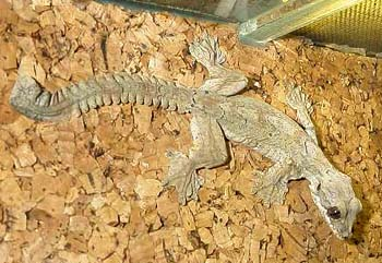Лопастехвостый геккон (Ptychozoon kuhlii), фото, фотография