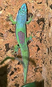 Линейчатая фельзума (Phelsuma lineata), фото, фотография