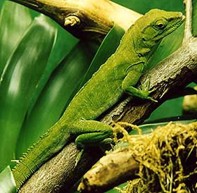 зеленый древесный варан, изумрудный варан, смарагдовый варан (Varanus prasinus), фото, фотография