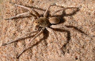 каролинский паук волк (Hogna carolinensis), фото, фотография
