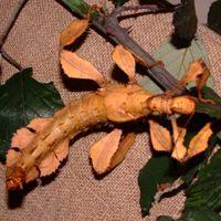 палочник Маклея, гигантский колючий палочник (Extatosoma tiaratuma), фото, фотография