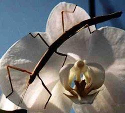индийский палочник (Carausius morosus), фото, фотография
