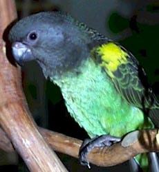 попугай Мейера, желтоплечий попугай, попугай Майера (Poicephalus meyeri), фото, фотография