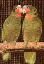 кубинский амазон, белоголовый амазон, кубинский белоголовый амазон (Amazona leucocephala), фото, фотография