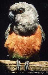 краснобрюхий попугай, красногрудый длиннокрылый попугай (Poicephalus rufiventris), фото, фотография