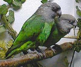 буроголовый попугай, буроголовый длиннокрылый попугай (Poicephalus cryptoxanthus), фото, фотография