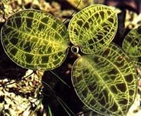 макодес петола, Macodes petola, фото, фотография, орхидея