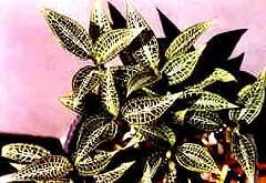 гудайера щетинистая, щетинистая гудайера, Goodyera hispida, фото, фотография, орхидея