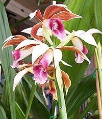 фаюс крупнолистный, крупнолистный фаюс, Phaius grandifolius, фото, фотография, орхидея