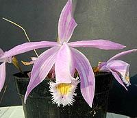 плейоне ранняя, ранняя плейоне, Pleione рrаесох, фото, фотография, орхидея