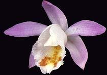 плейоне Гукера, Pleione hookeriana, фото, фотография, орхидея